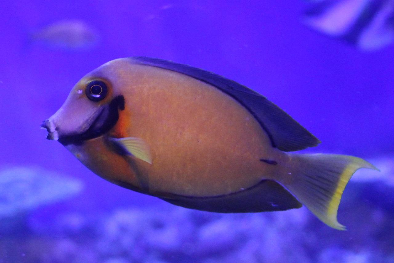 クログチニザ(竹島水族館)