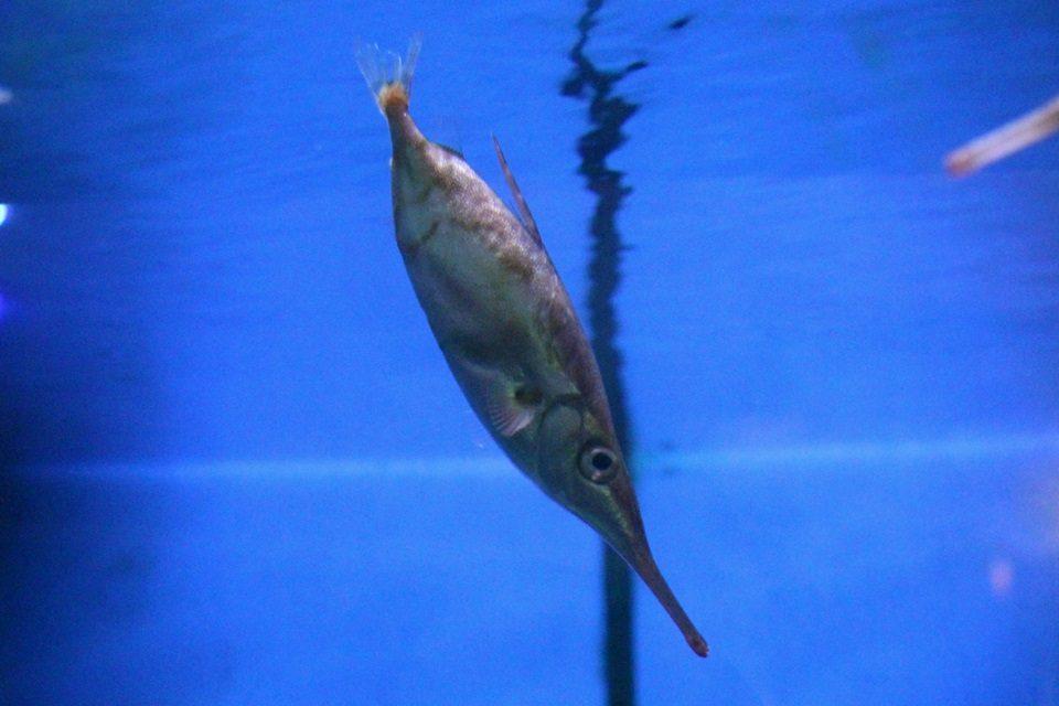 竹島水族館のサギフエ?