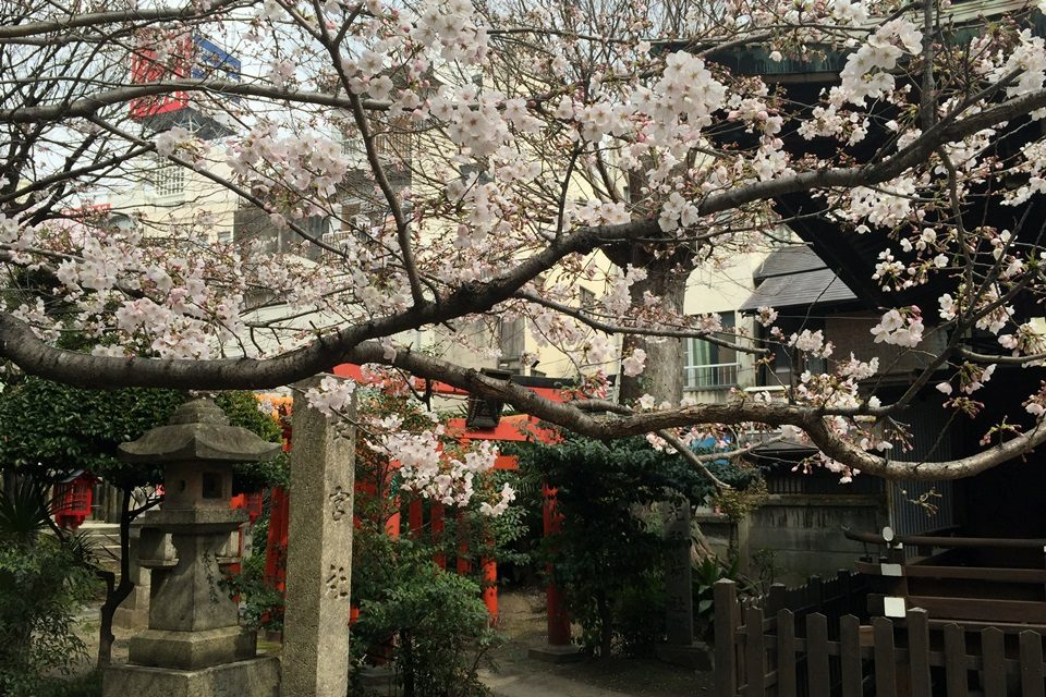 三輪神社の桜