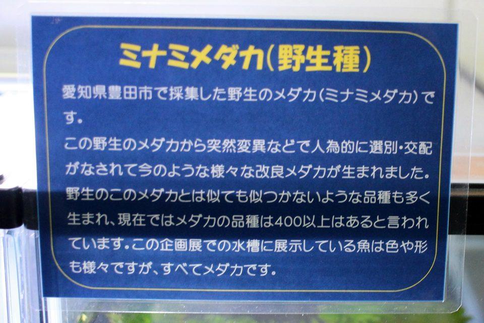ミナミメダカ(竹島水族館 企画展)