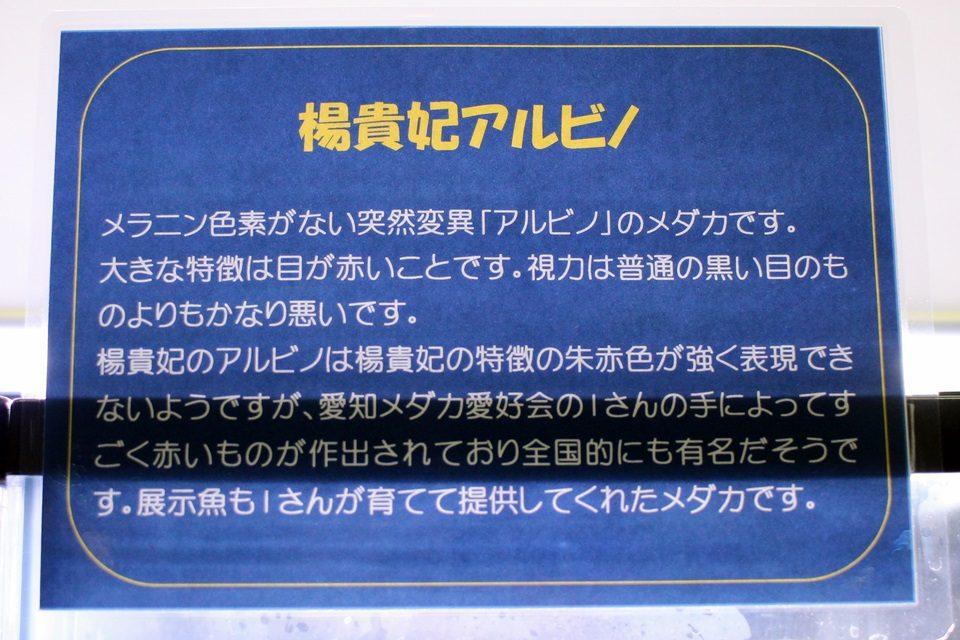 楊貴妃アルビノ(竹島水族館 企画展)