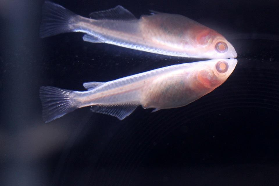 アルビノ螺鈿光(竹島水族館 企画展)