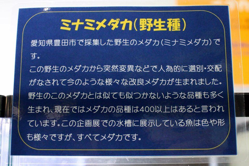 ミナミメダカ(竹島水族館)