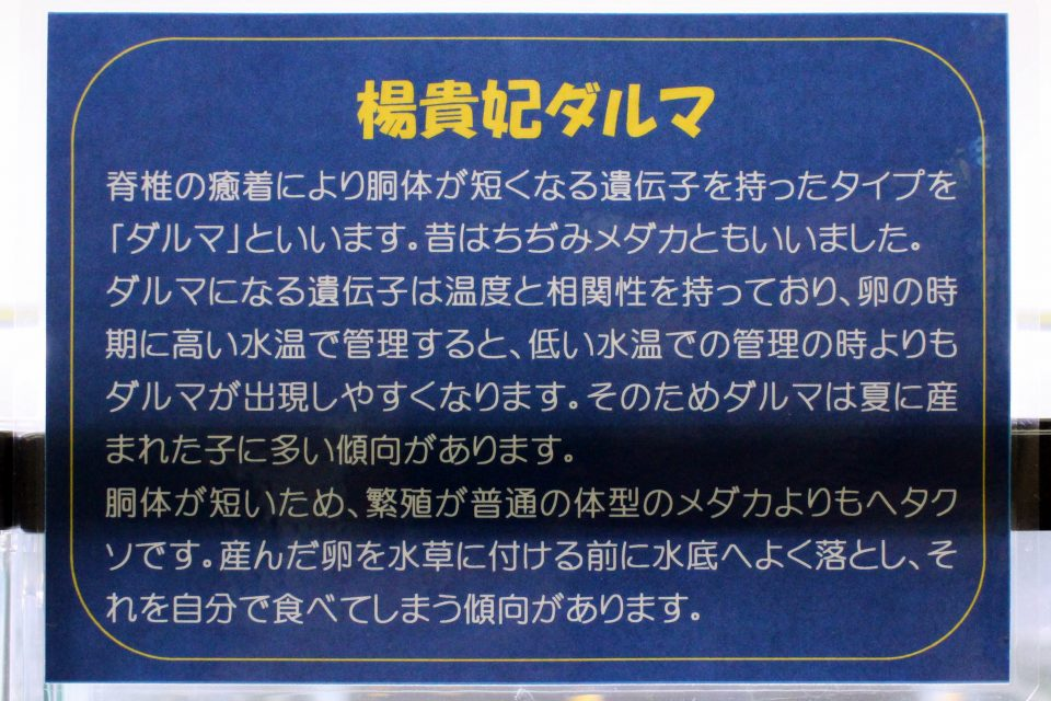 楊貴妃ダルマ(竹島水族館)