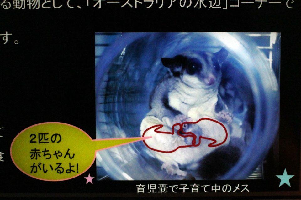 フクロモモンガの育児嚢