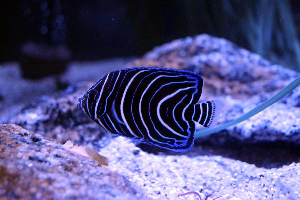竹島水族館 サザナミヤッコの幼魚
