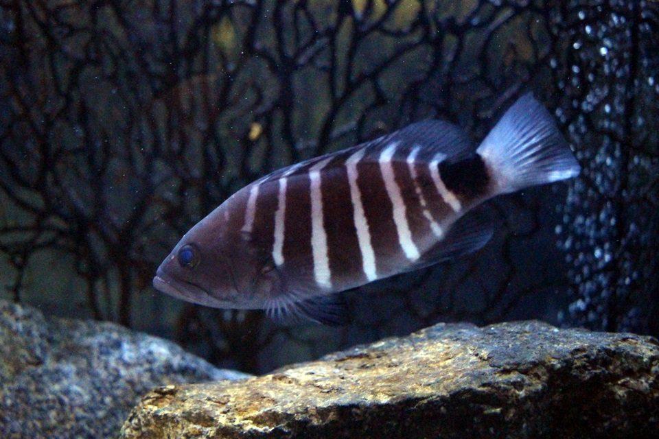 竹島水族館 マハタの幼魚