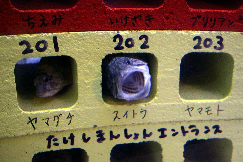 竹島水族館 たけしまんしょんのカサゴ