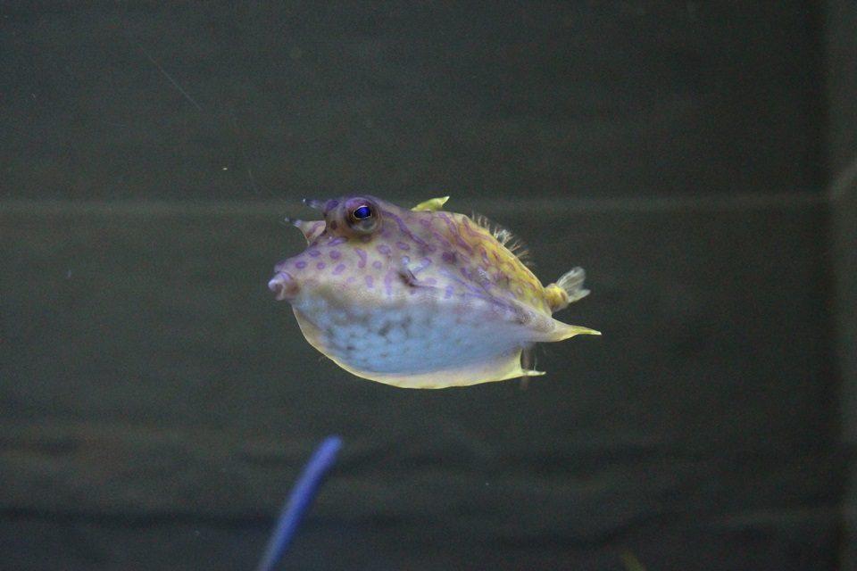 竹島水族館 シマウミスズメ