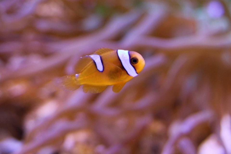 碧南海浜水族館 ハマクマノミの仔魚