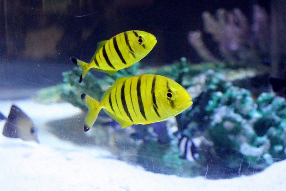 コガネシマアジの若魚