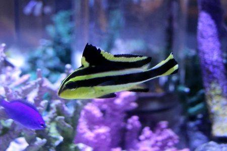 コロダイの幼魚?