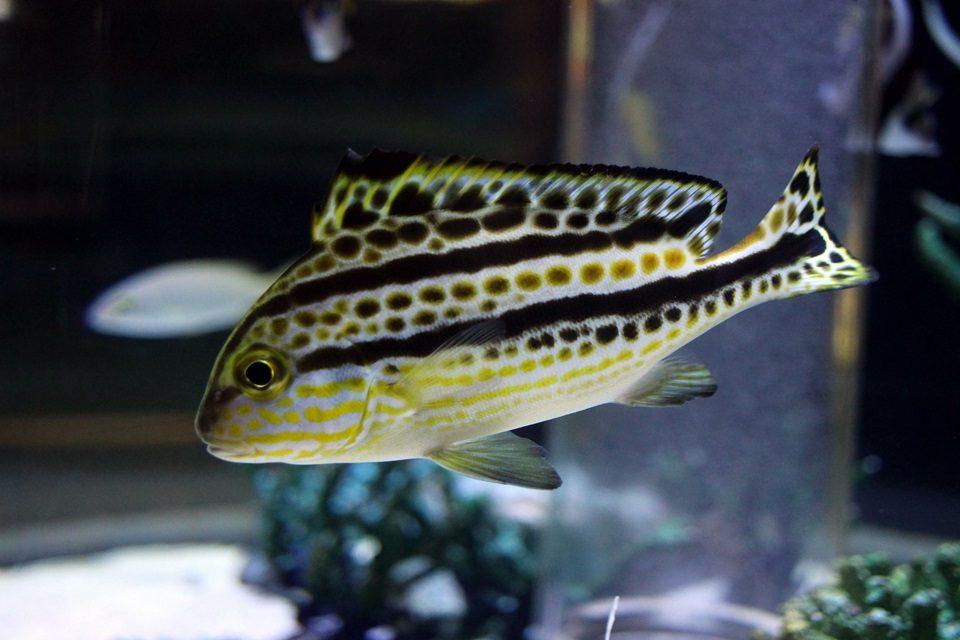 コロダイの若魚