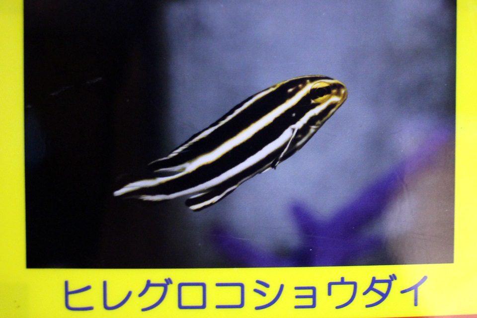 ヒレグロコショウダイ(の幼魚)