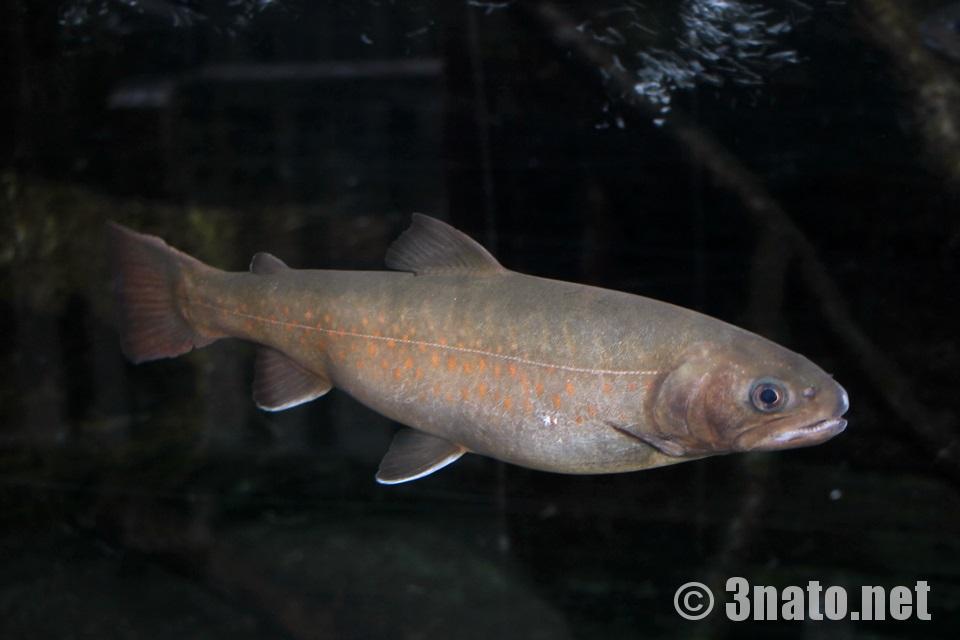 ヤマトイワナ(世界淡水魚水族館アクア・トトぎふ)