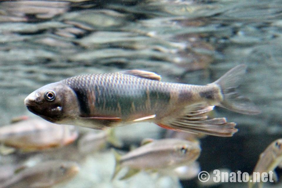 オイカワ(世界淡水魚水族館アクア・トトぎふ)