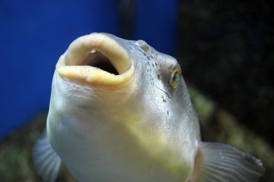 マフグ歯折り後(竹島水族館)