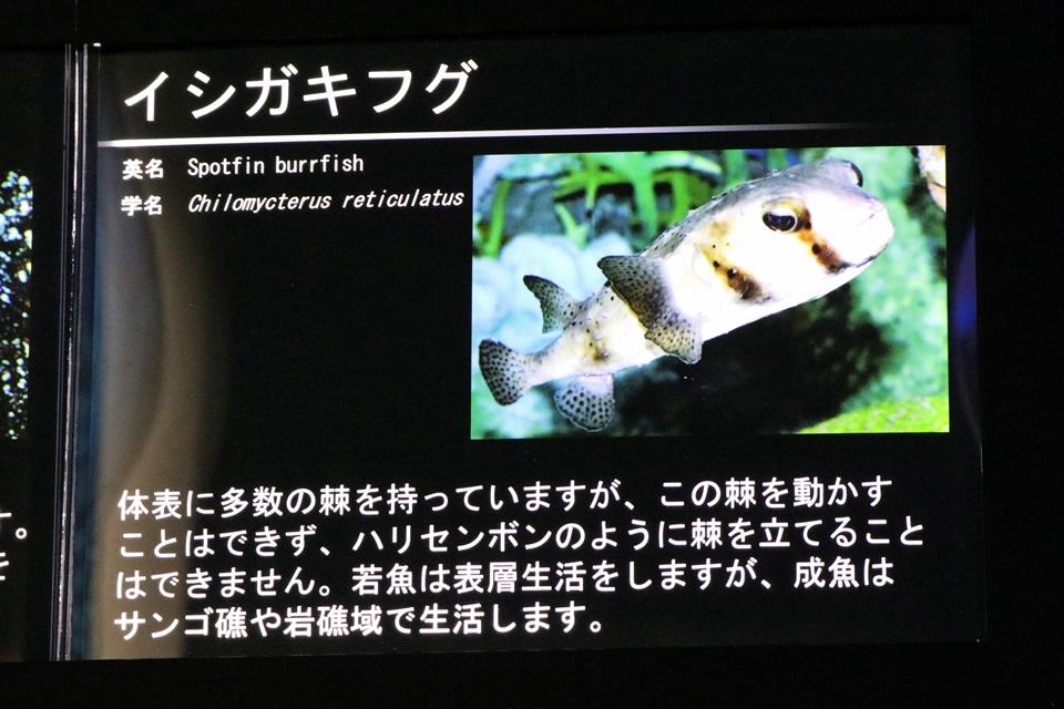 イシガキフグ解説パネル(名古屋港水族館にて)