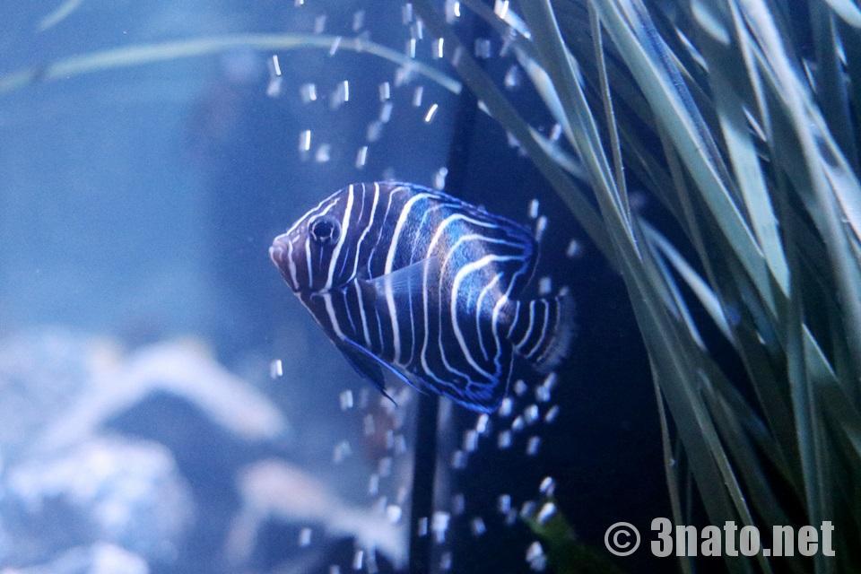サザナミヤッコの幼魚(竹島水族館)