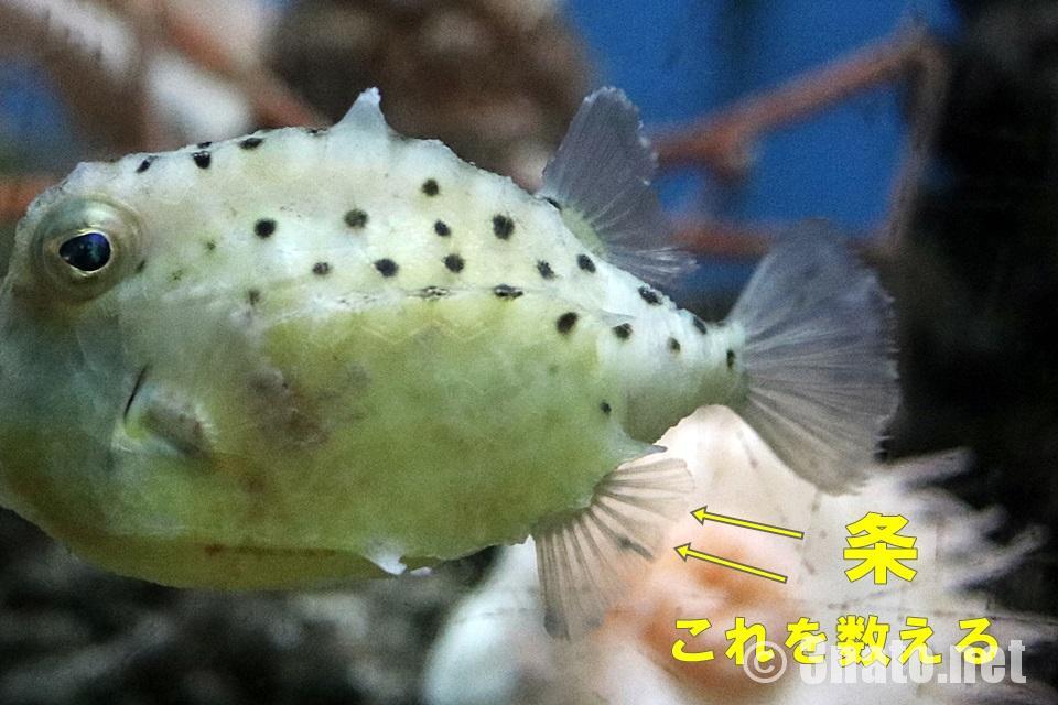 イトマキフグの尾鰭と尻鰭