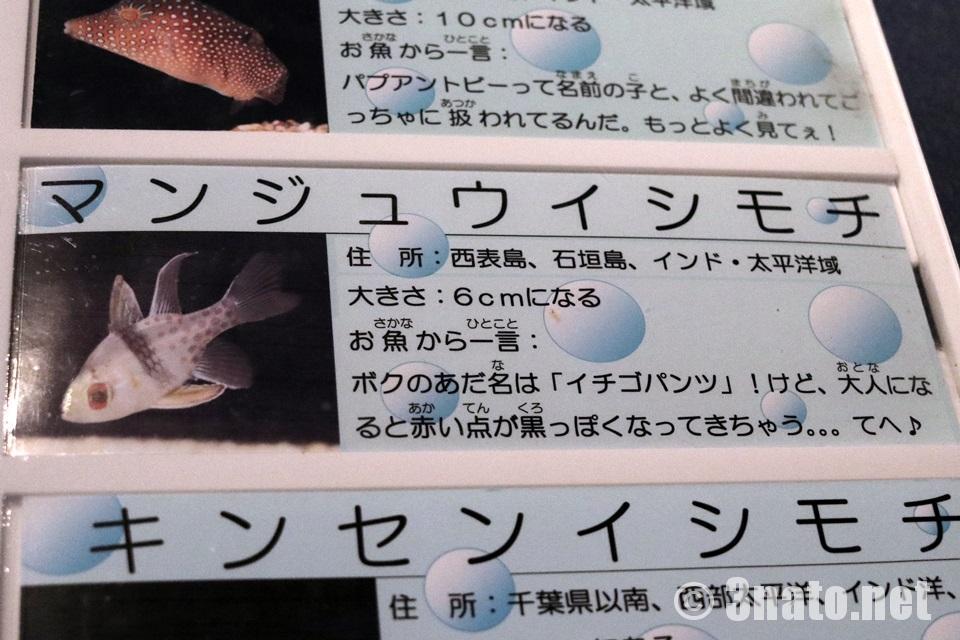 マンジュウイシモチ(竹島水族館の解説)