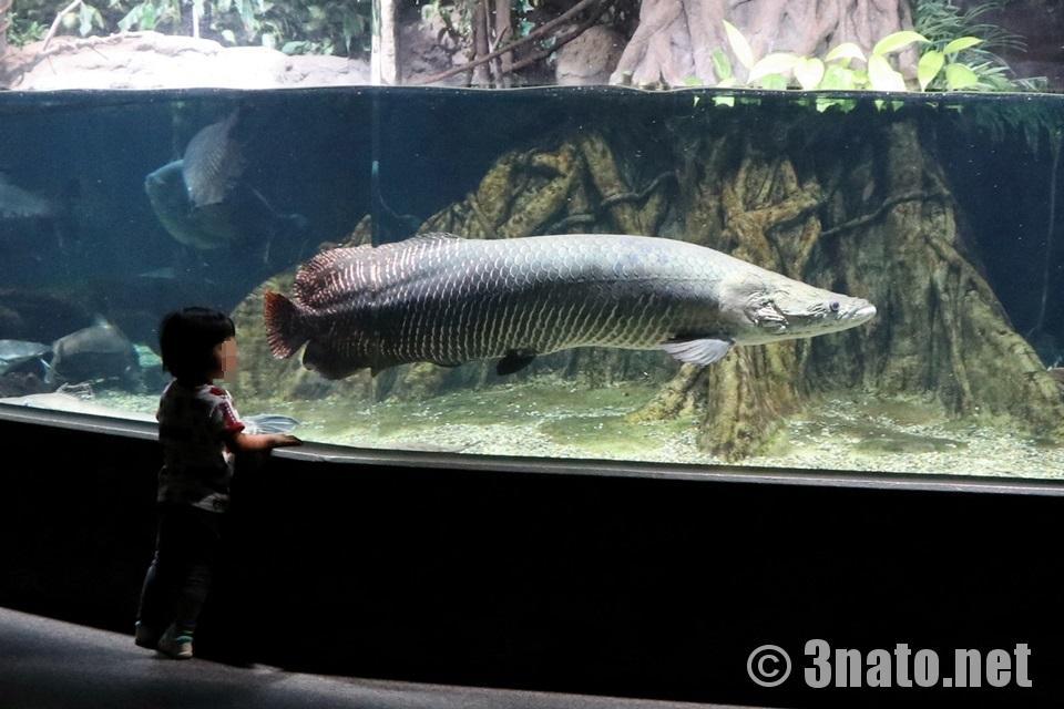 世界淡水魚水族館アクア・トトぎふ ピラルクー