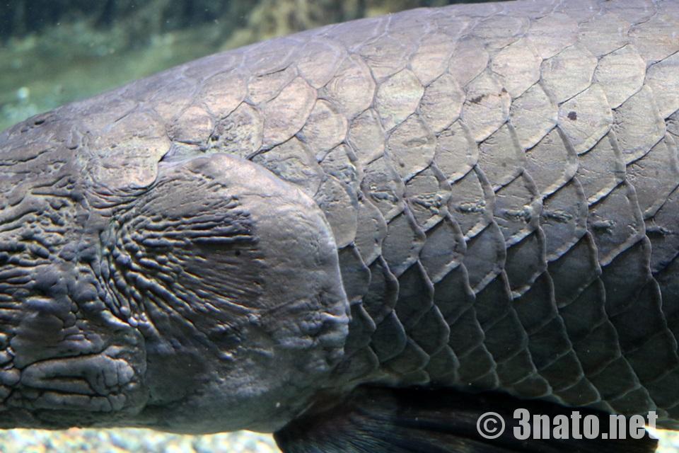 ピラルクー(世界淡水魚アクア・トトぎふ)