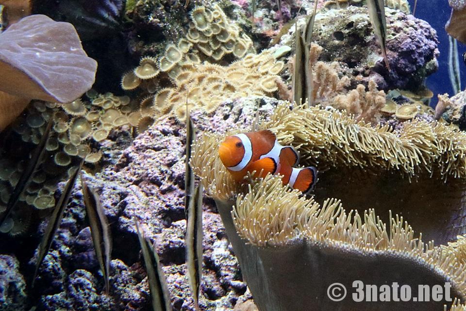 カクレクマノミの成魚(名古屋港水族館)