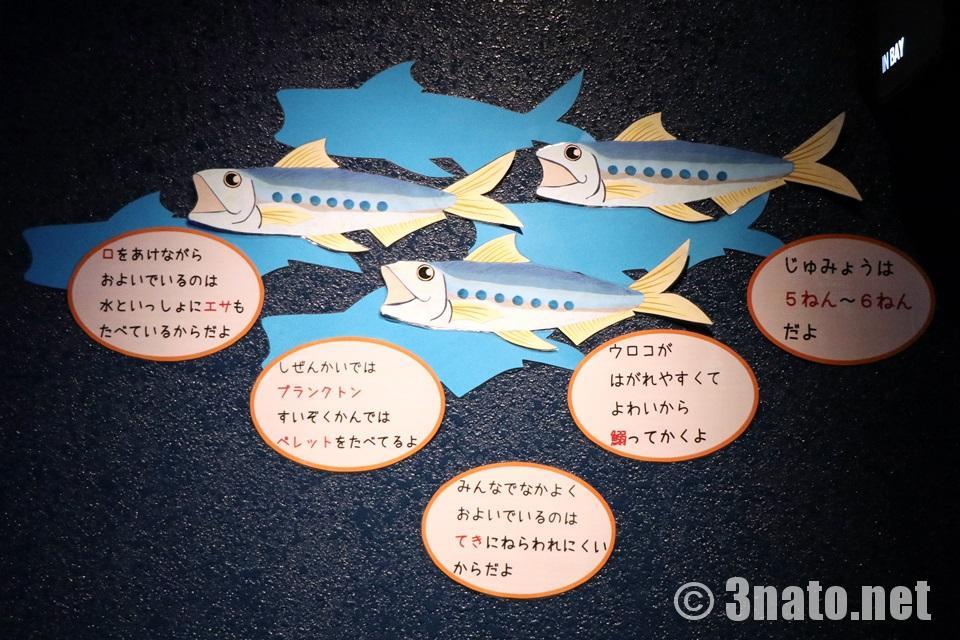 碧南海浜水族館でのマイワシ解説