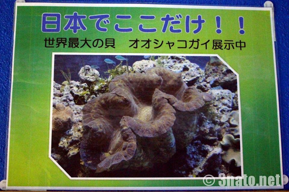 名古屋港水族館 オオシャコガイ解説掲示