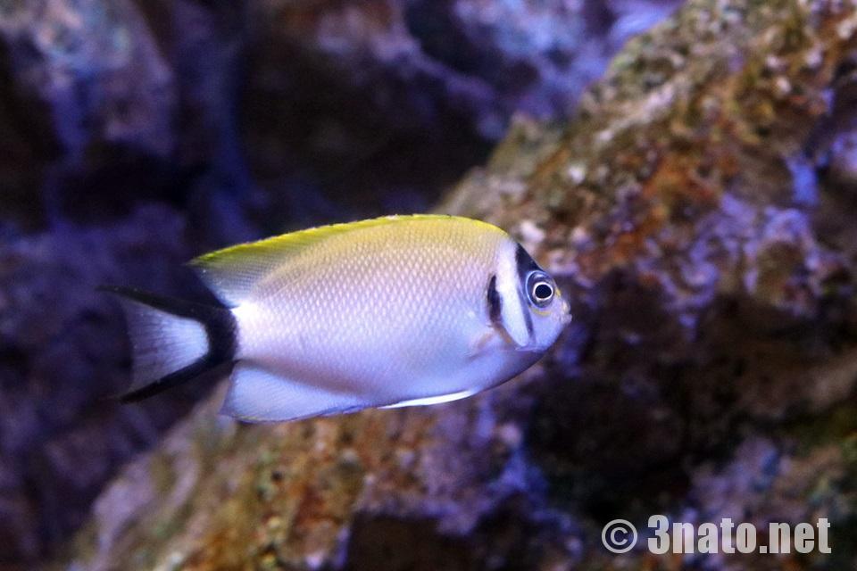 トサヤッコのメス(♀)(竹島水族館)