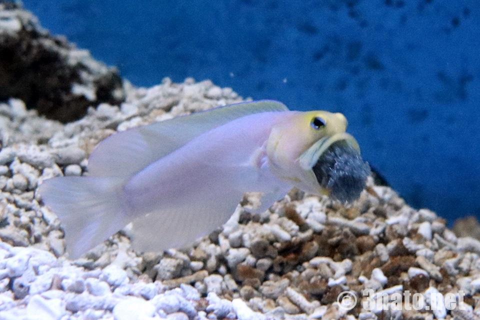 子育て中のイエローヘッドジョーフィッシュ(竹島水族館)