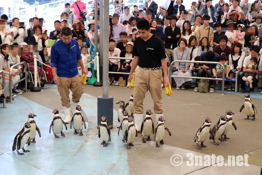 鳥羽水族館のペンギン散歩(鳥羽水族館)撮影日:2018/05/06