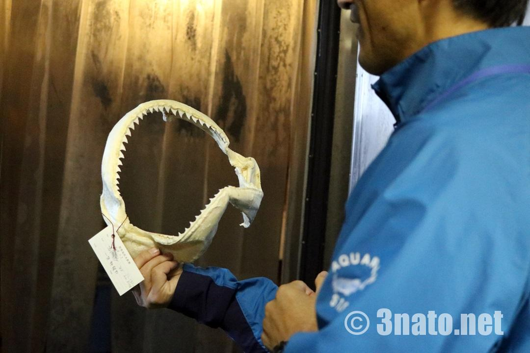 サメの歯の標本(碧南海浜水族館)撮影日:2017/11/19
