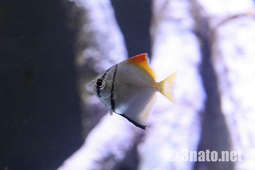 ヒメツバメウオの幼魚(竹島水族館)撮影日:2018/11/04
