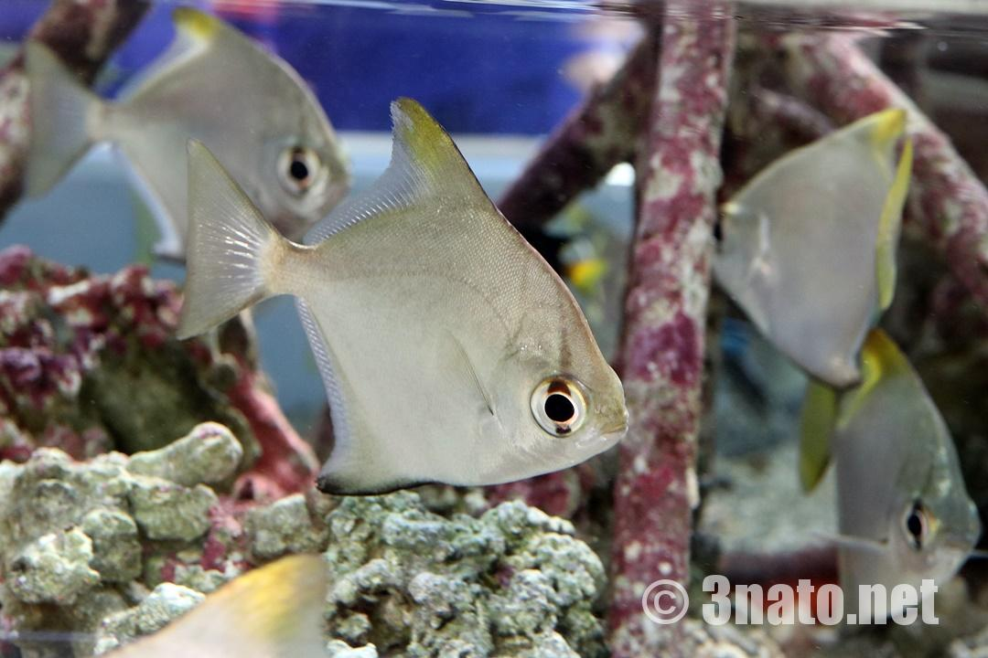 ヒメツバメウオの未成魚(名古屋港水族館)撮影日:2018/11/08