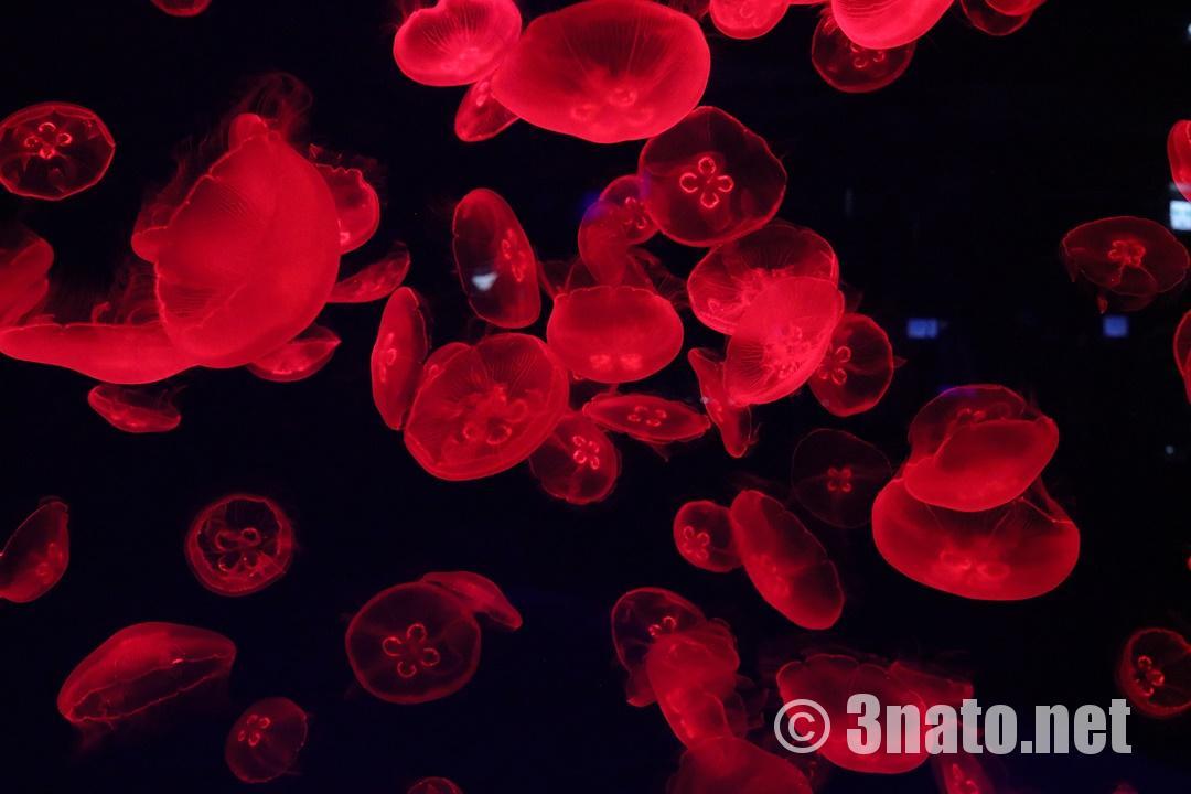 ミズクラゲ(名古屋港水族館くらげなごりうむ)撮影日:2018/11/08