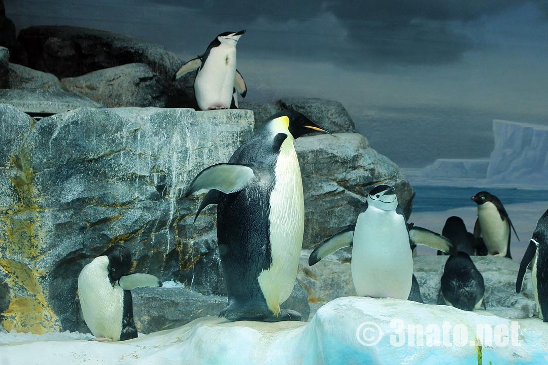 エンペラーペンギン(名古屋港水族館)撮影日:2016/10/05