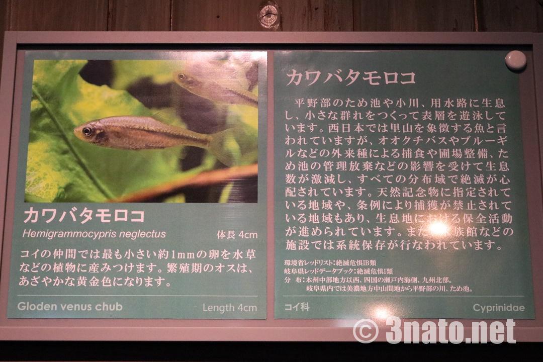 カワバタモロコの解説板(アクア・トトぎふ)撮影日:2018/11/17
