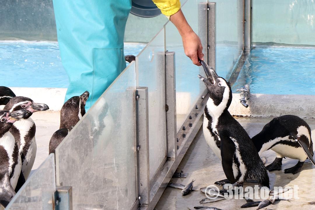 ペンギンの餌やり光景(志摩マリンランド)撮影日:2018/11/30