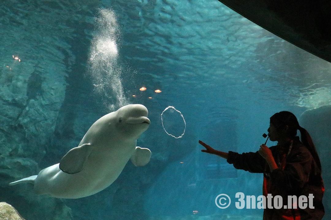 ベルーガのイベント「ふしぎな魚の食べ方」(名古屋港水族館)撮影日:2018/12/01