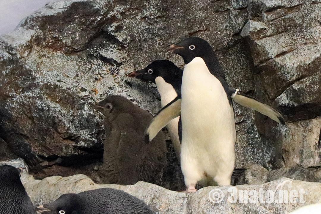 アデリーペンギン(名古屋港水族館)撮影日:2018/12/01
