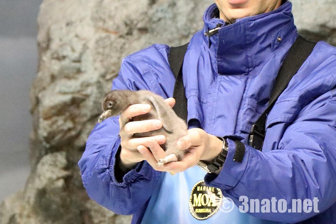 ペンギンの赤ちゃん(名古屋港水族館)撮影日:2018/12/02
