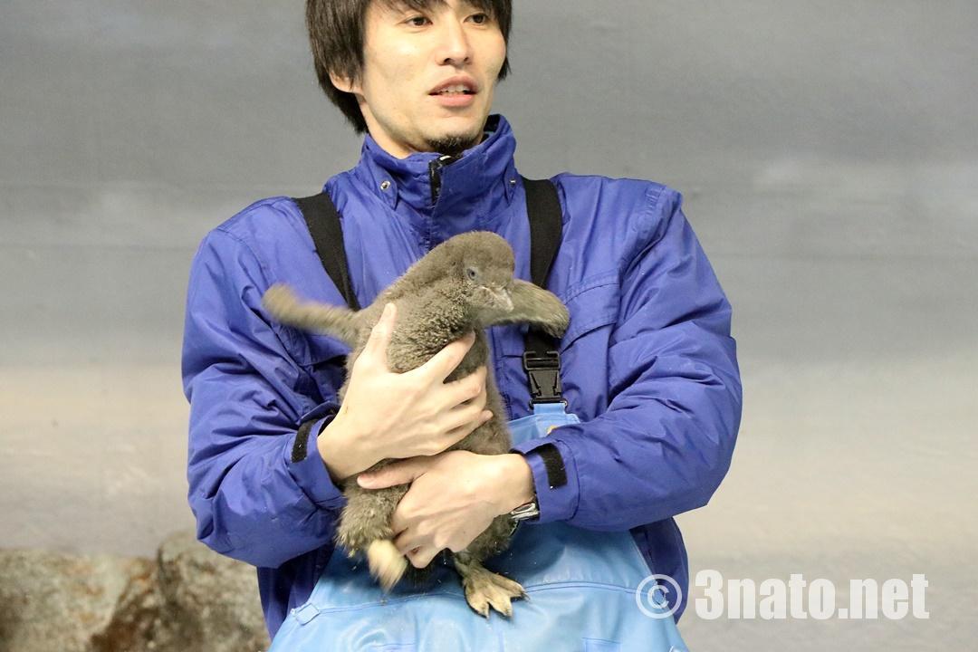 アデリーペンギンの赤ちゃん(名古屋港水族館)撮影日:2018/12/02