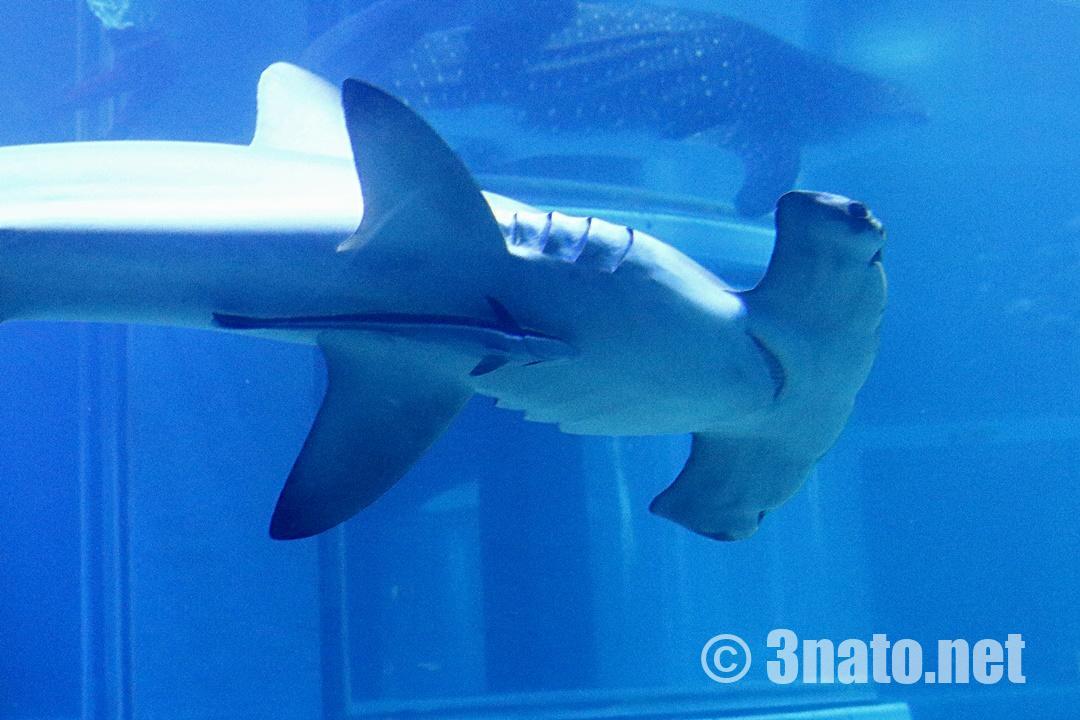 コバンザメを引き連れたアカシュモクザメ(海遊館)撮影日:2019/02/02