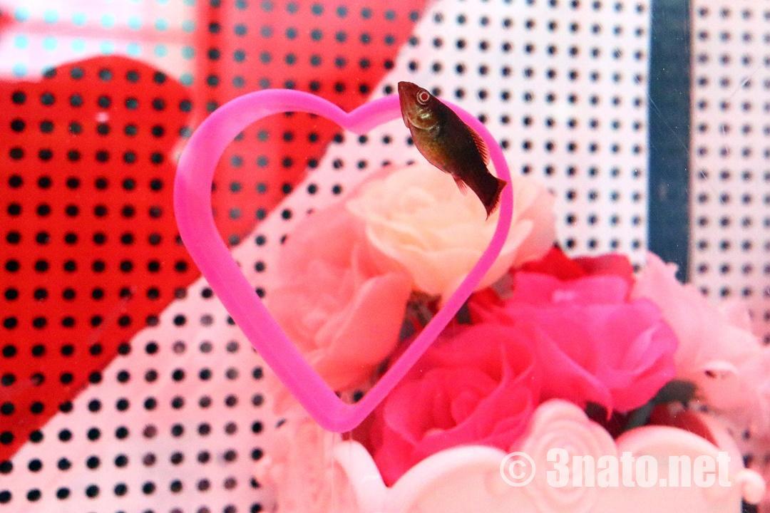 チョコレートモーリー(名古屋港水族館バレンタイン展示)撮影日:2019/02/08