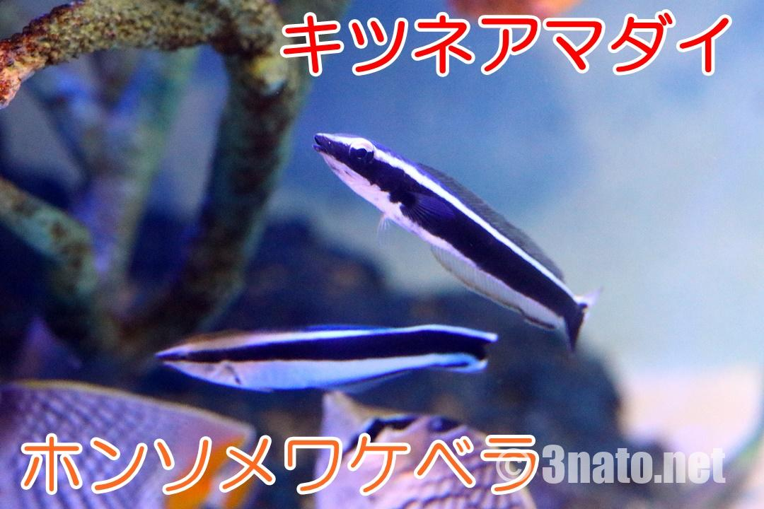キツネアマダイとホンソメワケベラの比較(竹島水族館)撮影日:2019/02/17