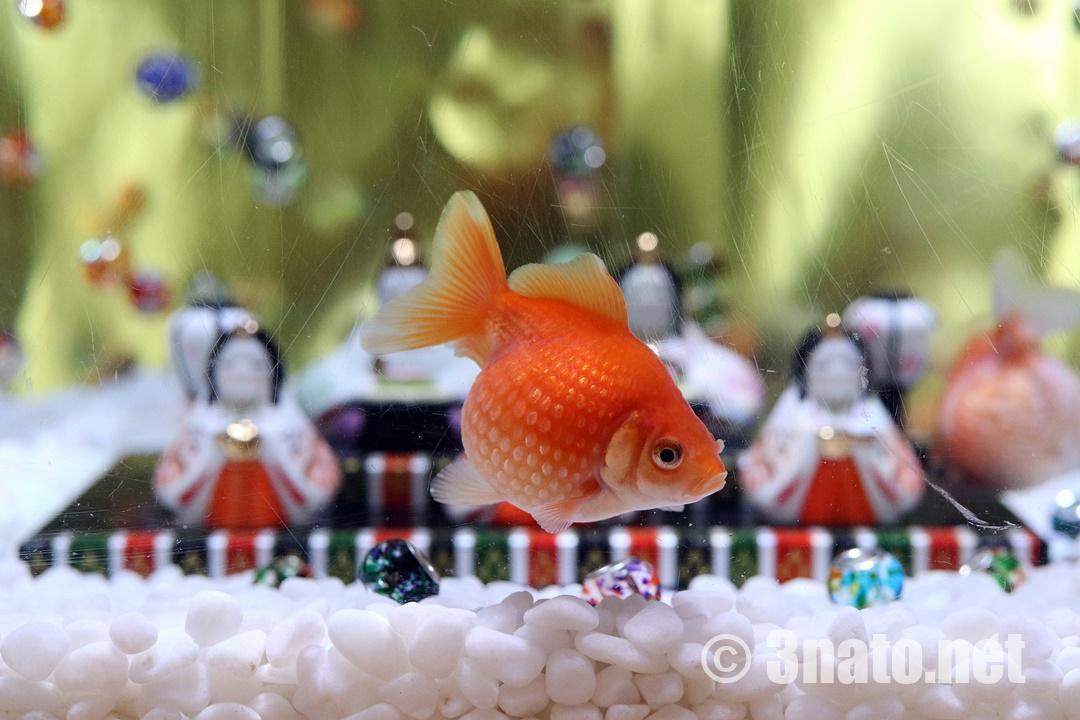 ひな祭り企画水槽のピンポンパール(名古屋港水族館)撮影日:2019/02/20